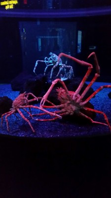 spiderfish